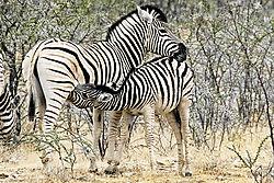 DSC2097_zebra_nursing.jpg