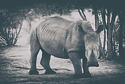 DSC2567_rhino_B_W_Nik_classiccam9.jpg