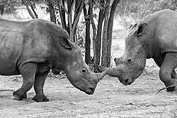 DSC2570_dueling_rhinos_B_W_8x12.jpg