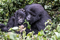 DSC3956_6x9_mother-baby_gorilla_Sabyinyo_family.jpg