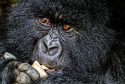 DSC3973_6x9_Viv2_gorillabamboo_Sabyinyo_family.jpg
