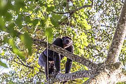DSC4333_6x9_Viv2_chimpclimbingtree.jpg