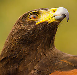DSC4345_Sea_of_Cortez_Serpentarium_Harris_Hawk.jpg