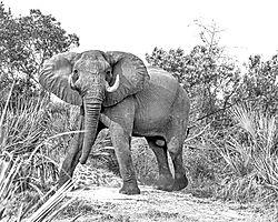 DSC6402_Bull_Elephant_8x10_B_W_FineArt.jpg