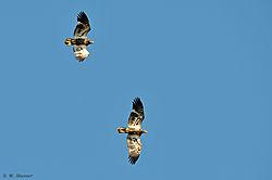 DSC_1152_juvi_eagles_edit_nikonians.jpg