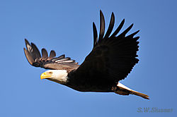 DSC_1624_Eagle_crop.JPG