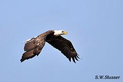 DSC_1840_Eagle.JPG