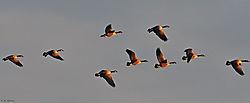 DSC_6430_Canadian_Geese_Nikonians.jpg
