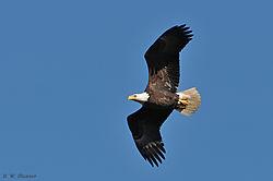 DSC_6937_Bald_Eagle_in_flight_nikonians.jpg