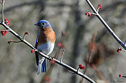 DSC_7434_Bluebird_Nikonians.jpg