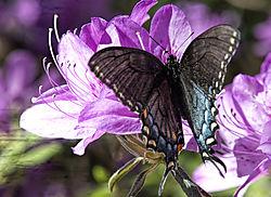 Dark_butterfly.jpg