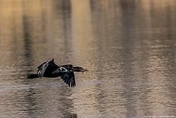 Double_Crested_Cormorants_Clear_Creek_Prospect_Park_Wheat_Ridge_Co_April_08_2014_JG1_2011.jpg