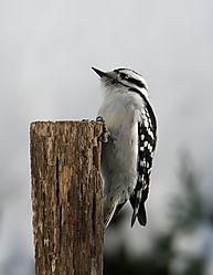 Downy_Woodpecker_-_female1.jpg