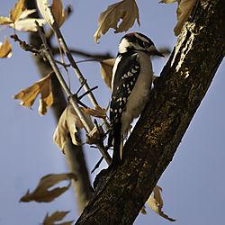 Downy_Woodpecker_Web.jpg