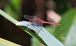Dragonfly_red_v2.jpg