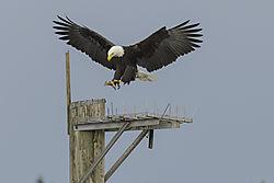 Eagle_Dec_1.jpg