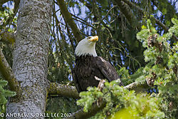 Eagle_Kirkland_looking_to_the_right.jpg