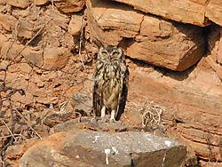 Eagle_Owl_4.jpg