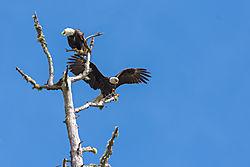 Eagle_Pair.jpg