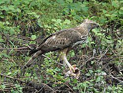 Eagle_in_India.JPG
