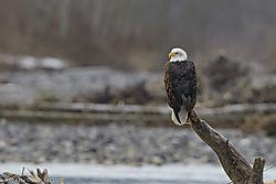 Eagle_on_tree_stump_.jpg