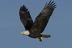 Eagle_with_catch_Juanita_2-10.jpg