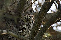 Eastern_Screech_Owl-3.JPG