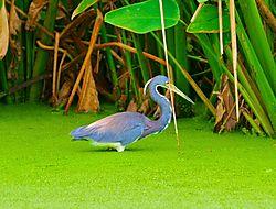 Egretta_tricolor_in_the_duckweed.jpg
