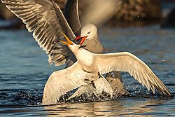 Elegant_Tern_Heerman_Gull_fighting_B_Klipp_.jpg