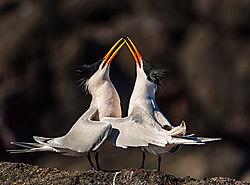 Elegant_Tern_Mating_Ritual_Bill_Klipp_.jpg