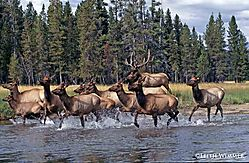 Elk-on-the-River.jpg