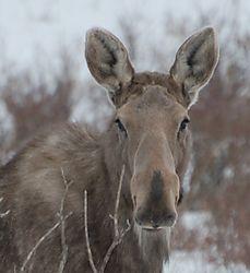 Favourite_Grey_moose1.JPG