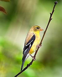 Finch-web.jpg