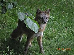 Fox_012.JPG