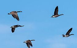 Geese-4896.jpg