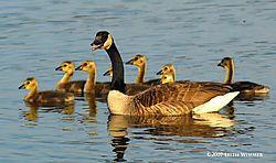 Geese-little-ones.jpg