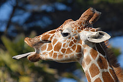 Giraffedramaticrange.jpg