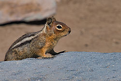 Golden-MantledGroundSauirrel_DSC_3197_C_PrBa69.jpg
