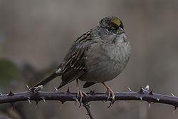 Golden-crowned_Sparrow_D3X4500_1_of_1_.jpg