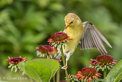 Goldfinch_on_coneflower-0356.jpg