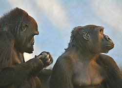 GorillaCouple_1_sm.jpg