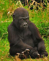 Gorilla_baby_sitting_threequarters_sm.jpg