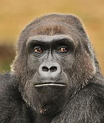 Gorilla_male_CUlookingleft.jpg