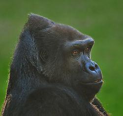 Gorilla_smiling_threequarters1_sm.jpg