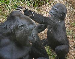 Gorillas_mommyandbaby1_sm.jpg