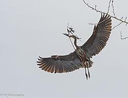 Great_Blue_Heron_Rookery--2.jpg