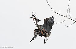 Great_Blue_Heron_Rookery--3.jpg