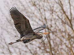 Great_Blue_Heron_Rookery-8094.jpg