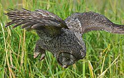 Great_Grey_Owl1_1_.JPG