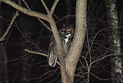 Great_Horned_Owl-141.jpg